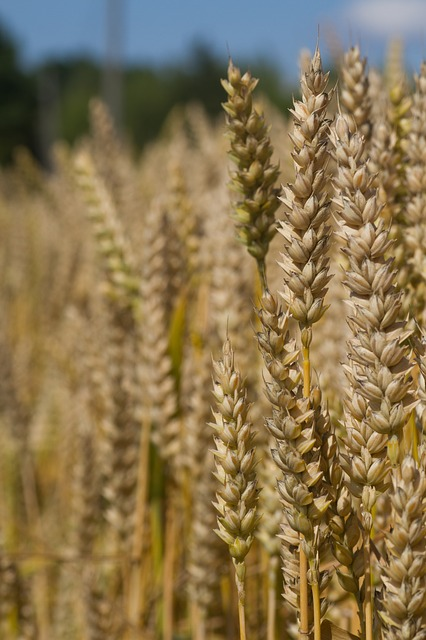 Wheat: The Major Rabi Crop of India