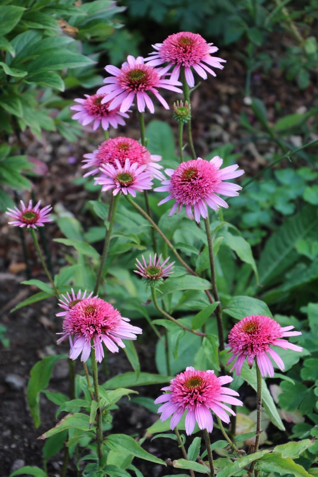 Solhatt Echinacea 'Pink Sorbet'