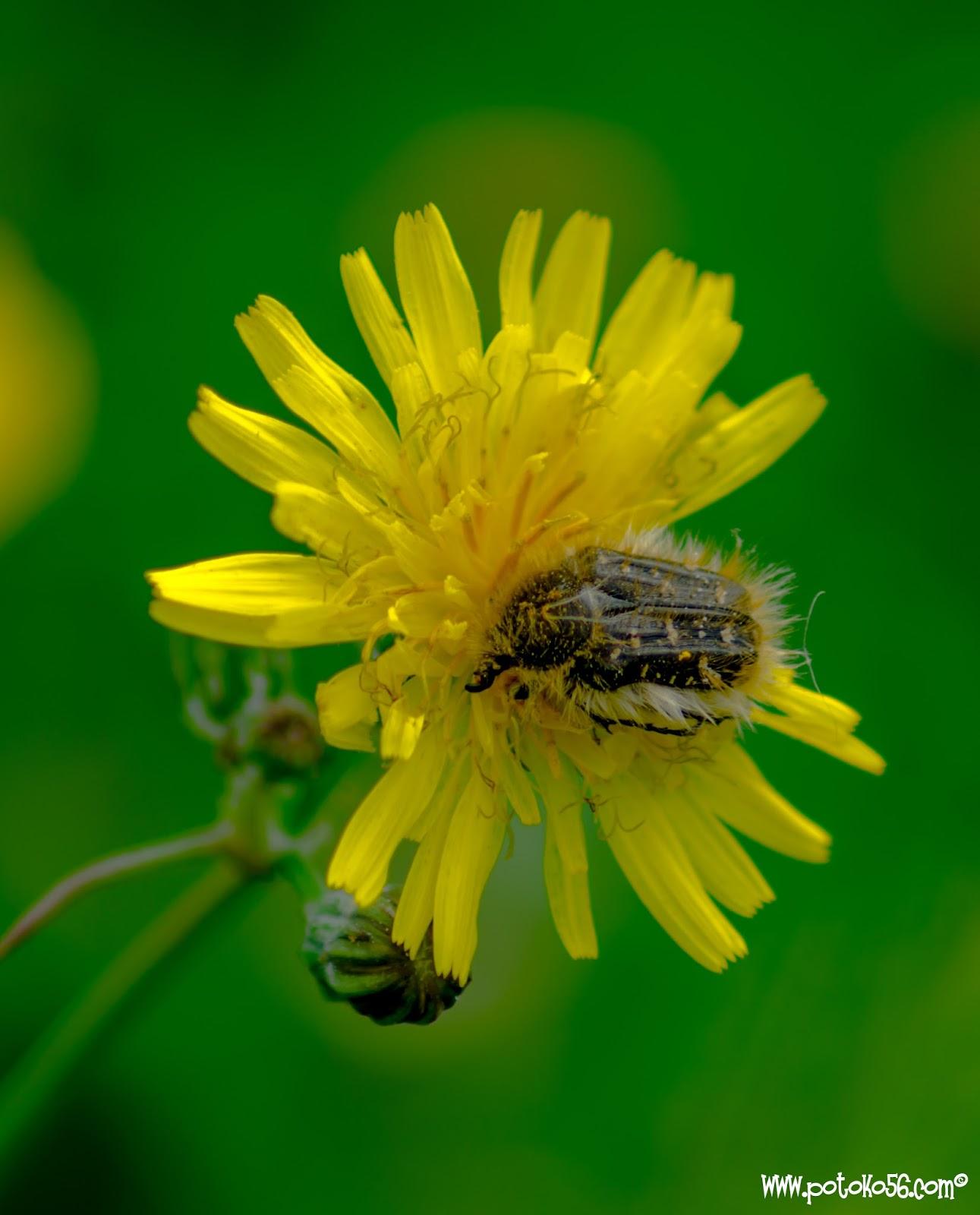 Un escarabajo peludo  (Tropinota hirta) polinizando un crisantemo silvestre