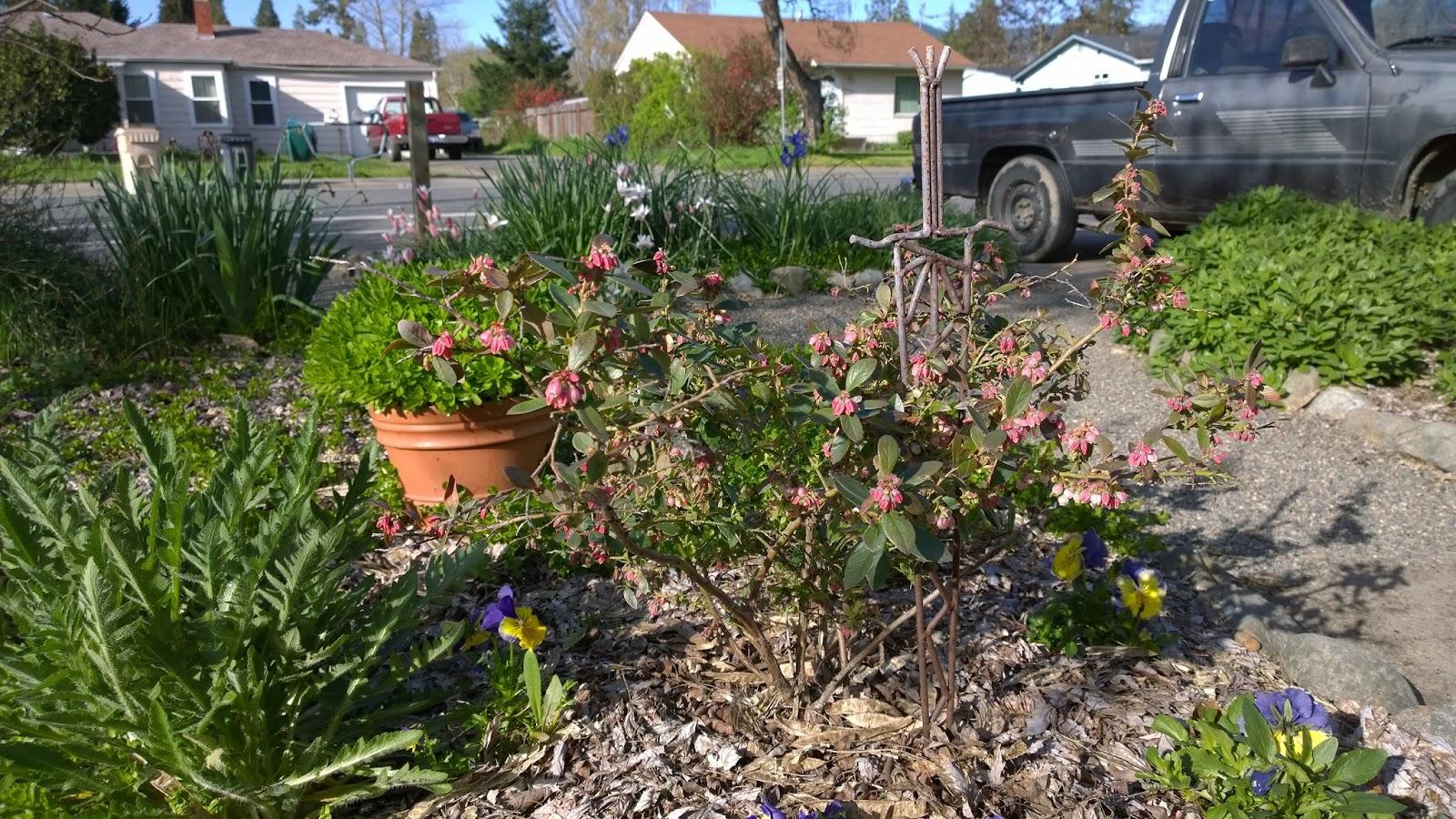 Garden Grants Pass Grow Big Blueberries In Grants Pass