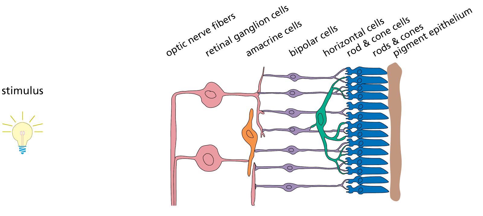 Human retina