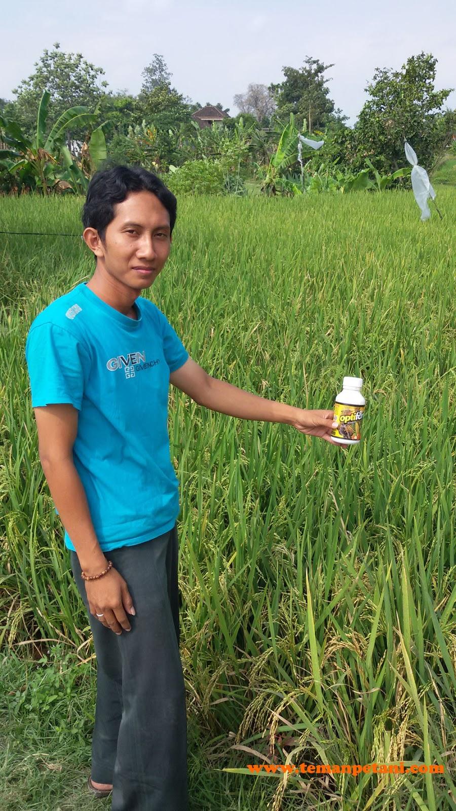 Bio Optifarm membantu atasi dan memulihkan padi yang kena asem-aseman