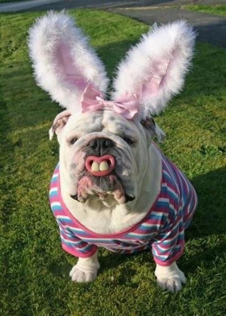 Easter Bull Dog Bunny