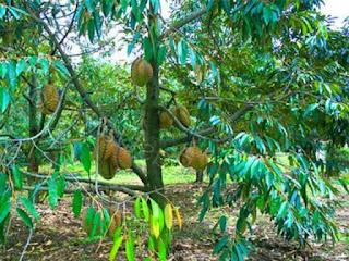 ciri-ciri-durian-montong.jpg
