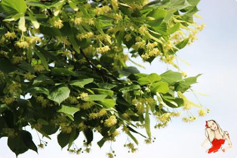Nawilżająca płukanka do włosów ze świeżych kwiatów lipy - czytaj dalej »