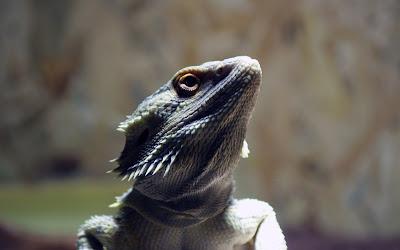 iguana widescreen resolution hd wallpaper
