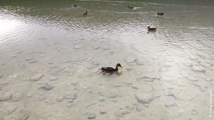 Утки у берега Черного озера, Дурмитор