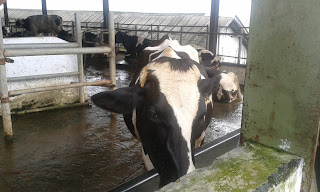 usaha sapi perah baturaden