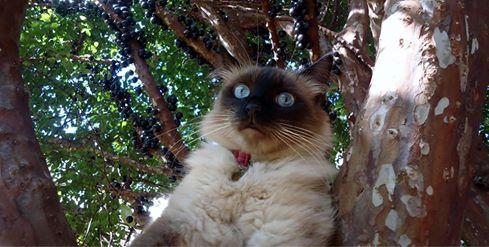 Minha gatinha Safira e a importância de um animal de estimação, as responsabilidades e o projeto de chipagem de gatos e cachorrros em Barretos-SP - Gata Safira na Jabuticabeira