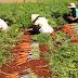 Một số biện pháp kỹ thuật nâng cao chất lượng cà rốt