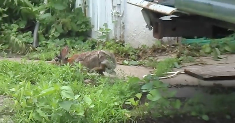 A rare looking rabbit spotted in a backyard.