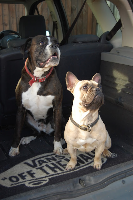 Boxer dog and french bulldog sat in a car boot