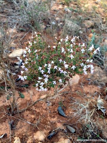 Tomillo, Thymus vulgaris