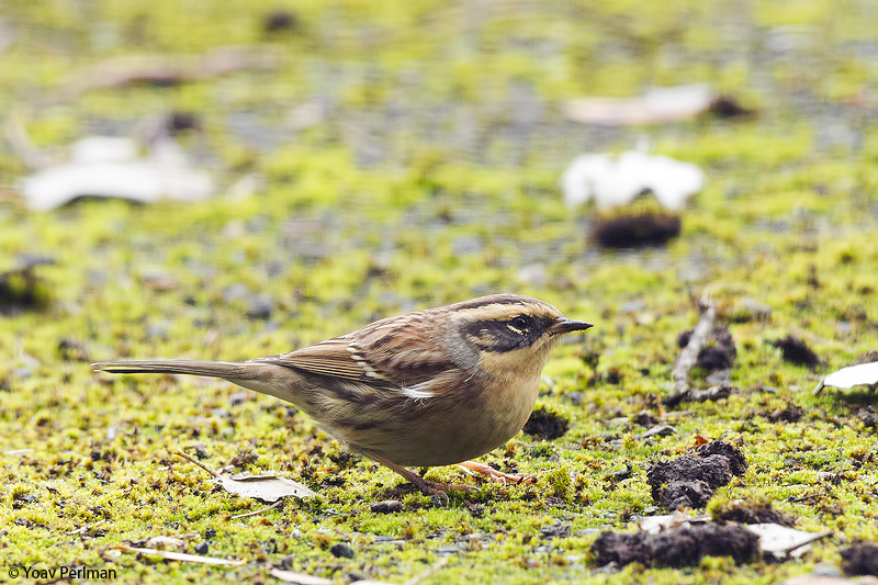 Sibe Accentor