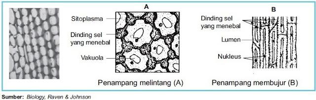 Jaringan kolenkim menjadi penguat utama organ Struktur dan Fungsi Jaringan Kolenkim pada Tumbuhan