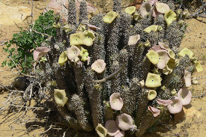 African Plant May Aid Dieters Farmers