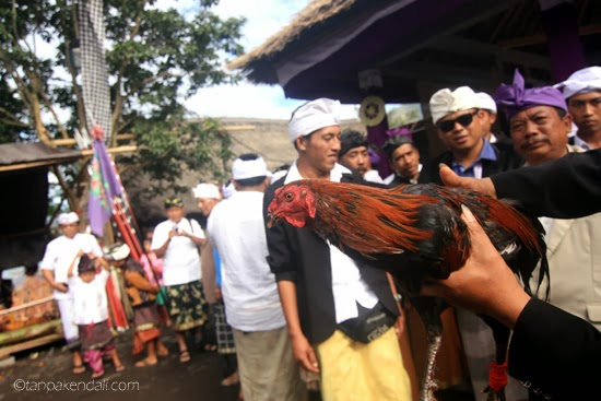 Photo Story : Sabung Ayam ~ TANPA KENDALI
