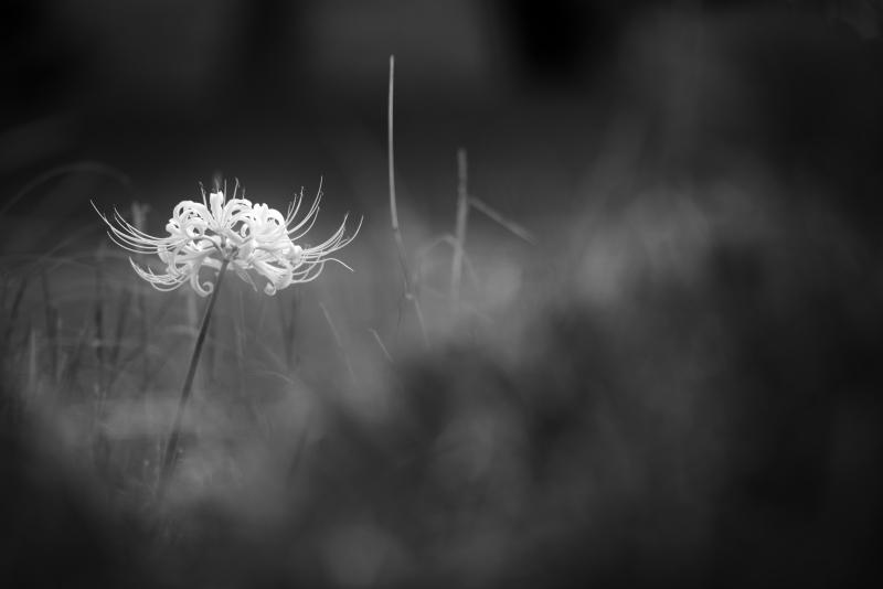 秋常山古墳の白い彼岸花