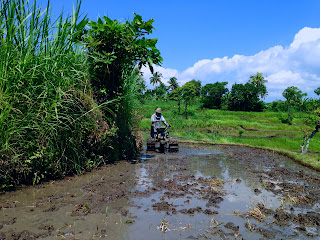 Plowing Rice Field with tractor machine