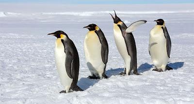 Vì sao chim cánh cụt thường đẻ trứng vào mùa đông