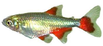 Peixe-Barbatanas-Vermelhas (Aphyocharax anisitsi)