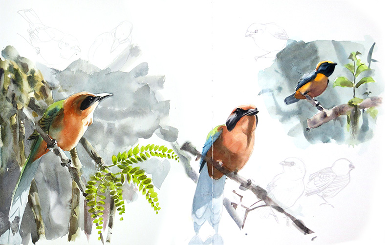 Rufous motmot, euphonia, watercolor, aquarelle