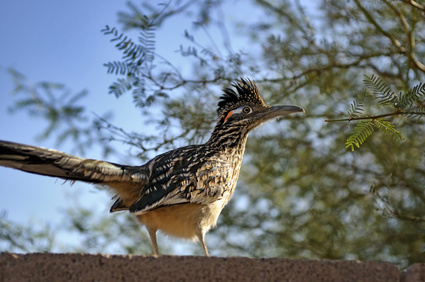 greater roadrunner, geocyccyx californianus, new mexico state bird