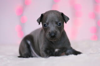 http://www.italiangreyhound.eu/2018/12/tellow-boy.html