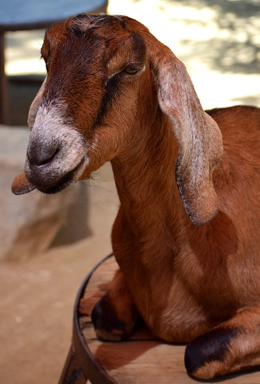Nubian Goat | Zoo Atlanta | Photo: Travis S. Taylor