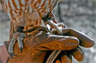 Istilah glove dalam pemeliharaan burung hantu mengacu pada sarung tangan pelindung yang terbuat dari kulit