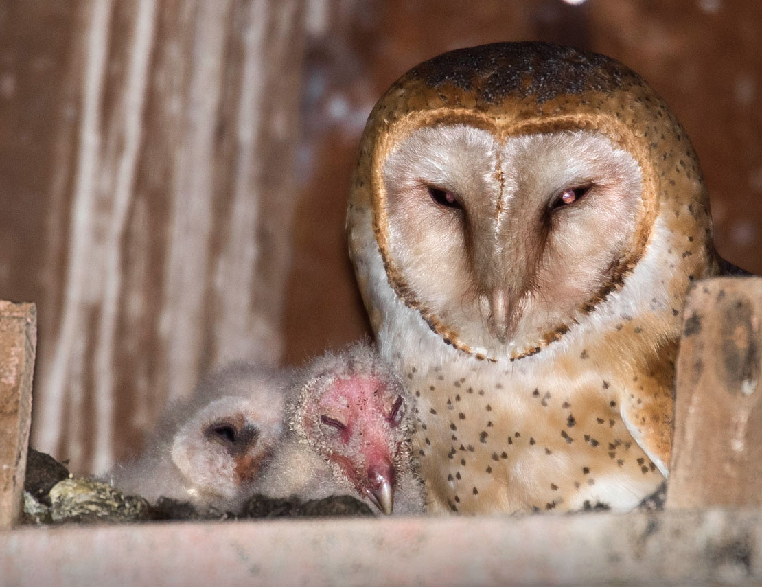 Robin Loznak Photography: Baby barn owls in Oregon