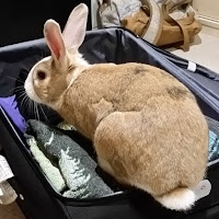 A suitcase lies open on the floor. Rabbit is sitting in the suitcase on top of the contents, inspecting them.