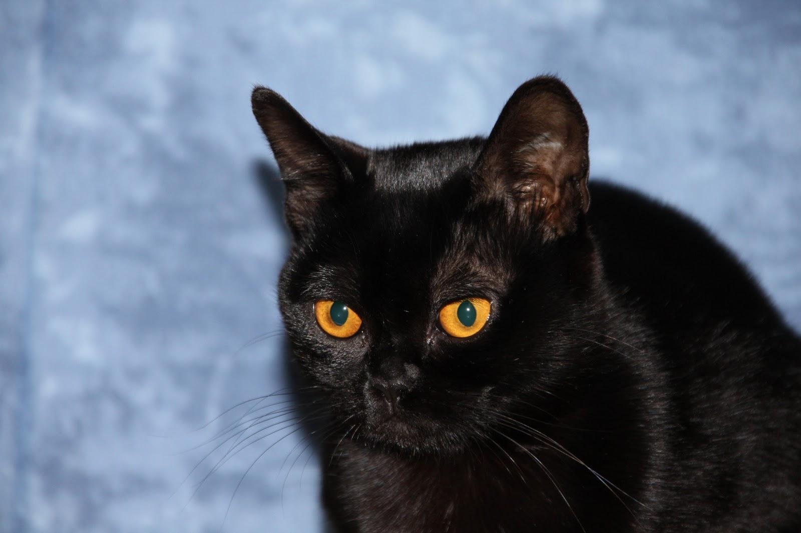 Katze Bombay