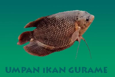 Umpan Ikan Gurame Ampuh Dan Jitu