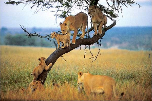 lions on tree2 East Africa Safari in style, Adventures with a difference!