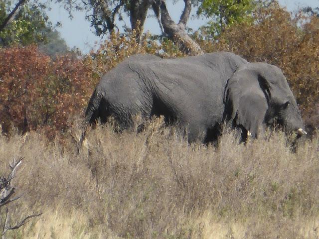 Elefante pastando en isla dentro del delta del Okawango