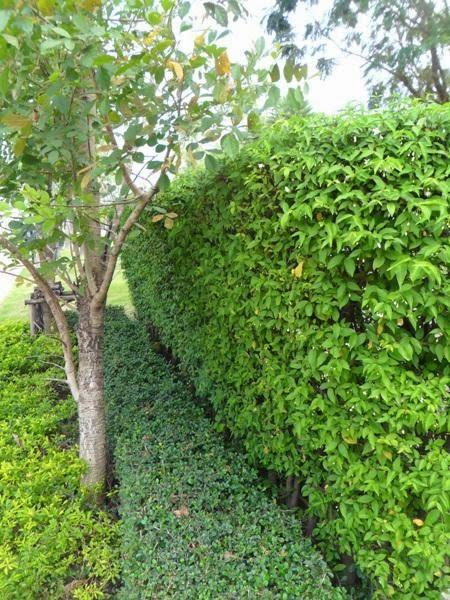 ต้นโมก ทำรั้ว