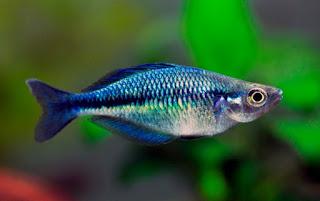 Jenis Ikan Rainbow Lacustris Blue