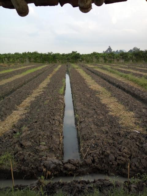 Image result for tanaman cabe di sawah