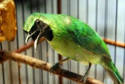 2 Tips Akurat Supaya Burung Memiliki Badan Langsing Yang Ideal