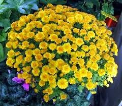 Jardim da terra primavera - Como cultivar crisantemos ...