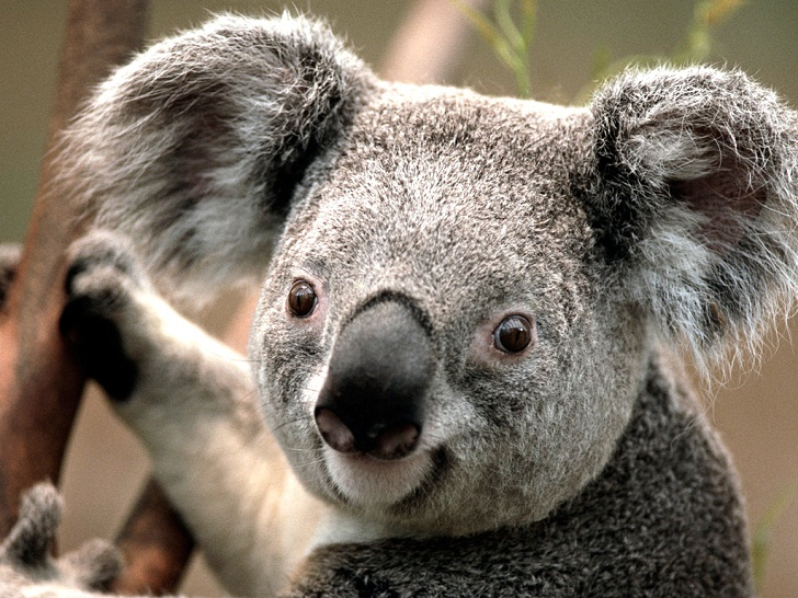 Mengenal Koala, Hewan Unik yang Tidak Pernah Minum