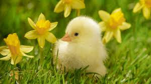 spring chick with daffodils