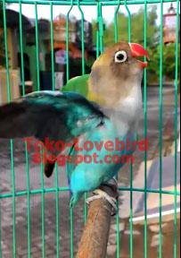 lovebird anakan gacor