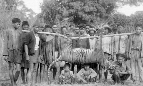 Catatan Konflik Harimau Jawa dengan Manusia di Masa Lalu