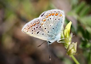 Resultado de imagen de las mariposas escandinavas