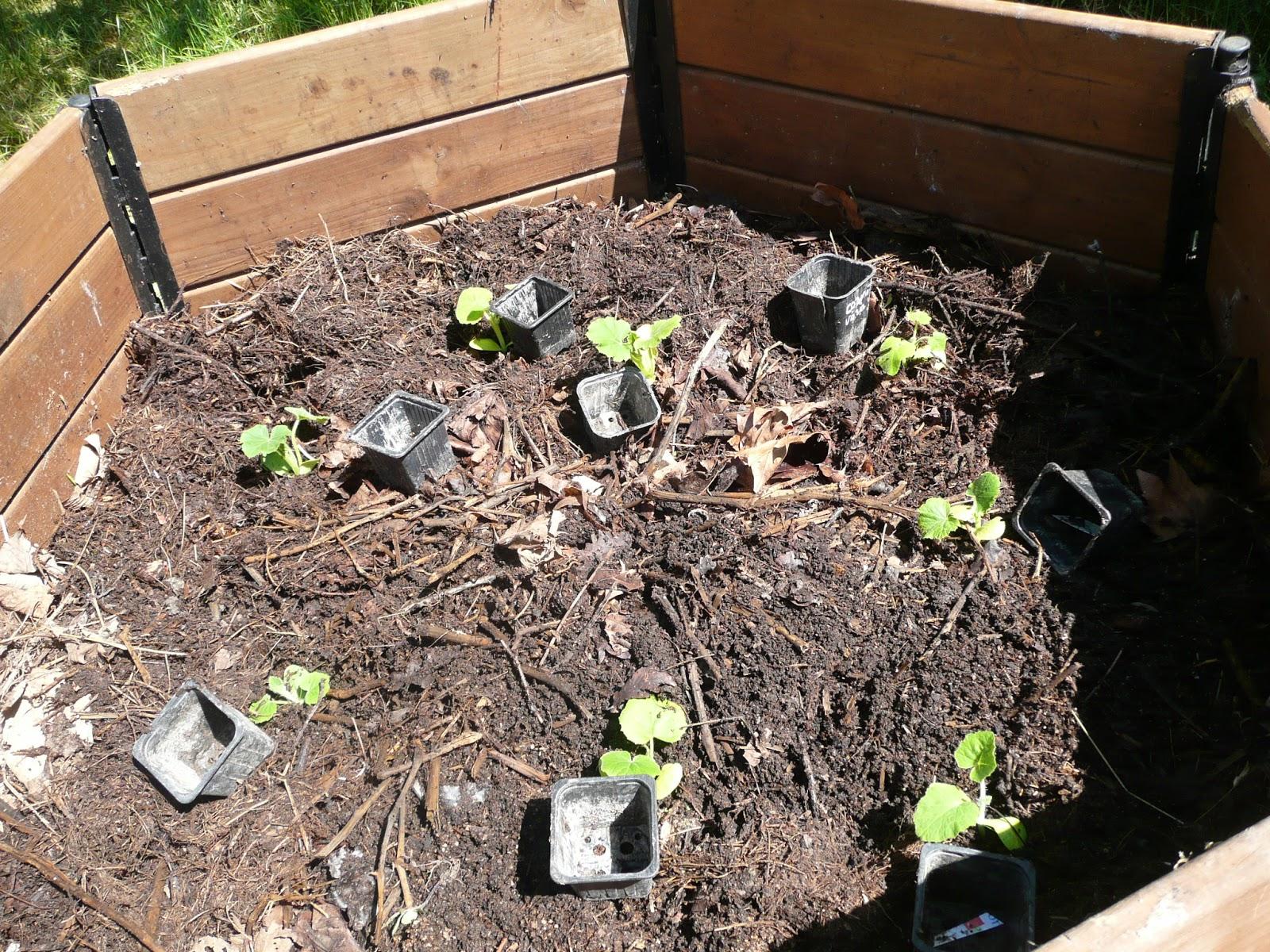 Amap thique du terrier joli les pommes de terre sortent - Pomme de terre sous paille ...