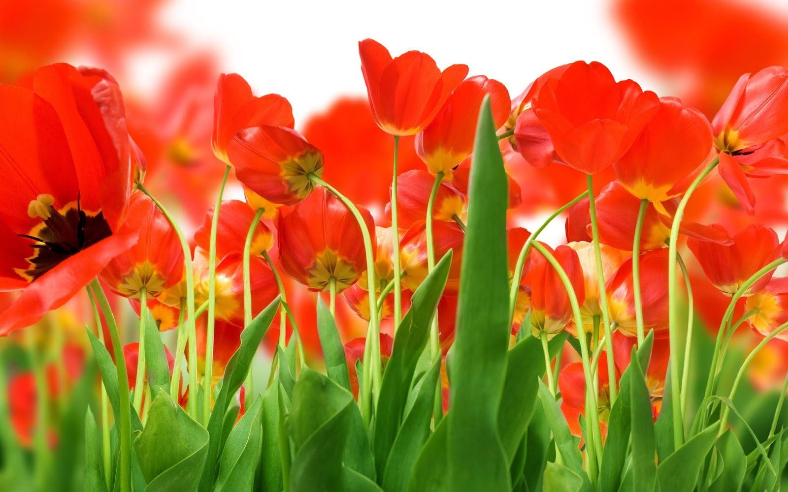 Red Flower Wallpapers