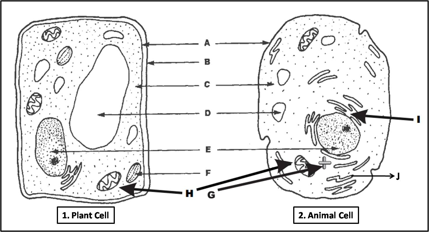 hight resolution of labeled diagram plant cell and animal cell