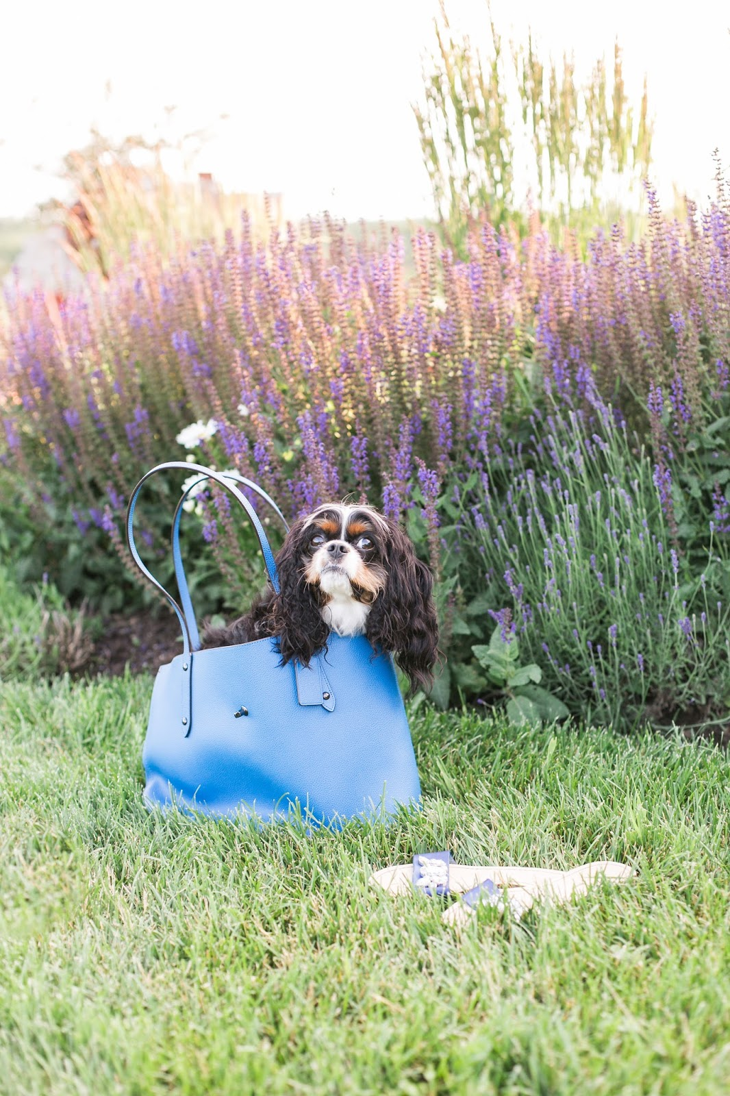 Bijuleni | Cavalier King Charles Spaniel Puppy in Coach Tote